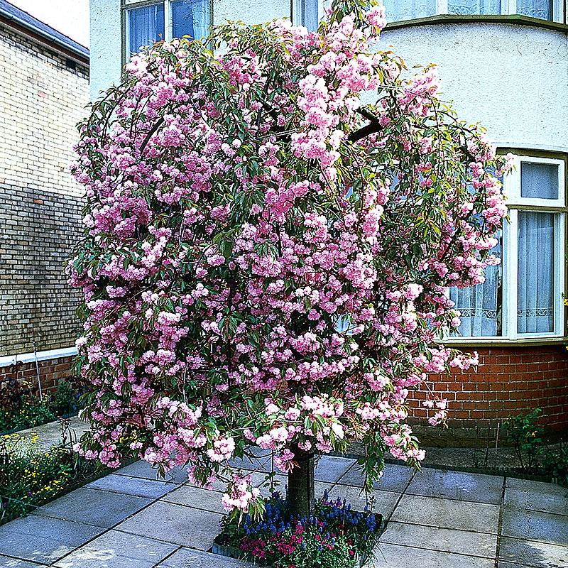 Japanskt prydnadskörsbär, Prunus 'Kiku-Shidare-Zakura' (sato-zakura)