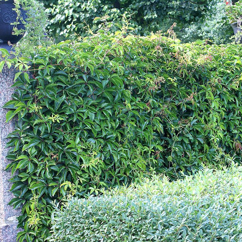 Klättervildvin som klänger på en mur