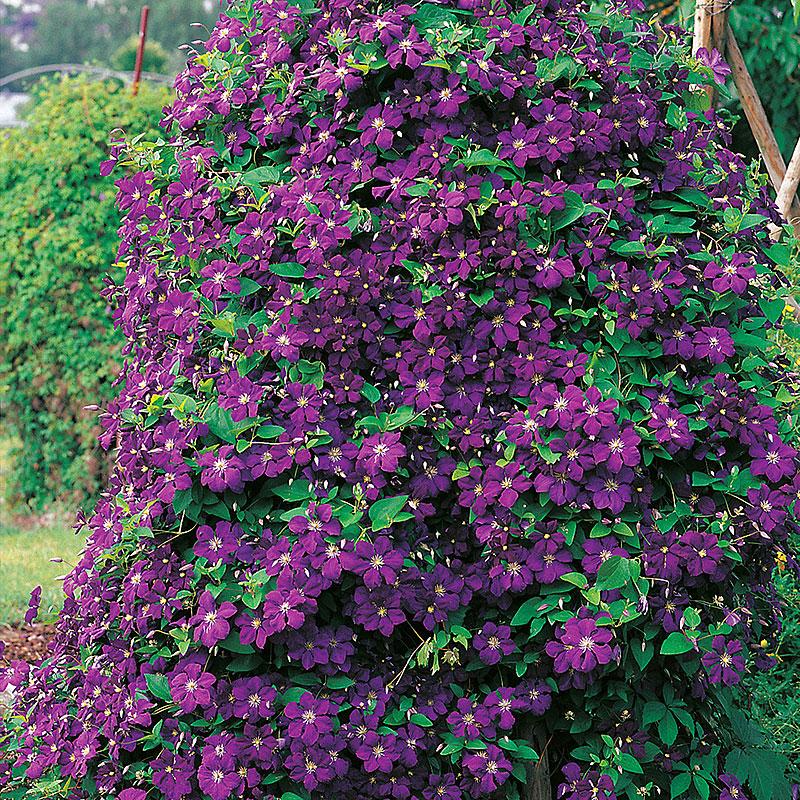 Klematis, Clematis Etoile Violette