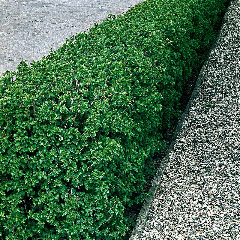 Häckväxt måbär, Ribes alpinum