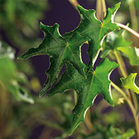 Murgröna 'Ivalace'