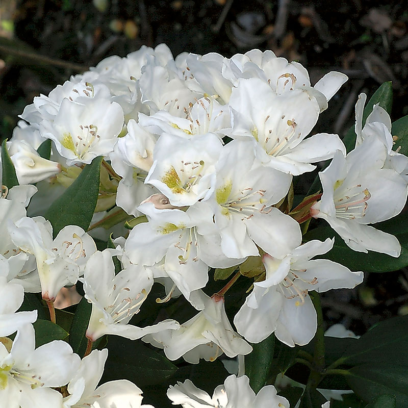 Närbild på blomma Rhododendron 'Cunninghamn's White'