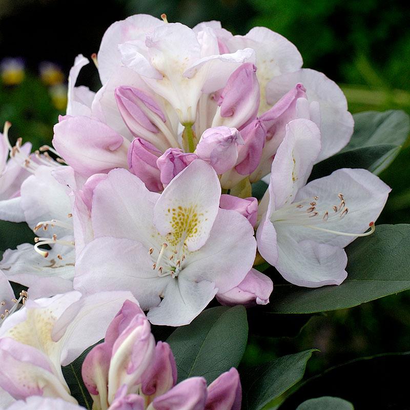 Närbild på blomma Rhododendron 'Gomer Waterer'