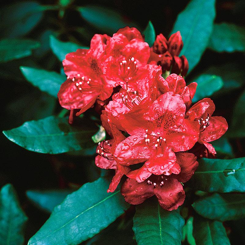 Rhododendron 'Feuershein'