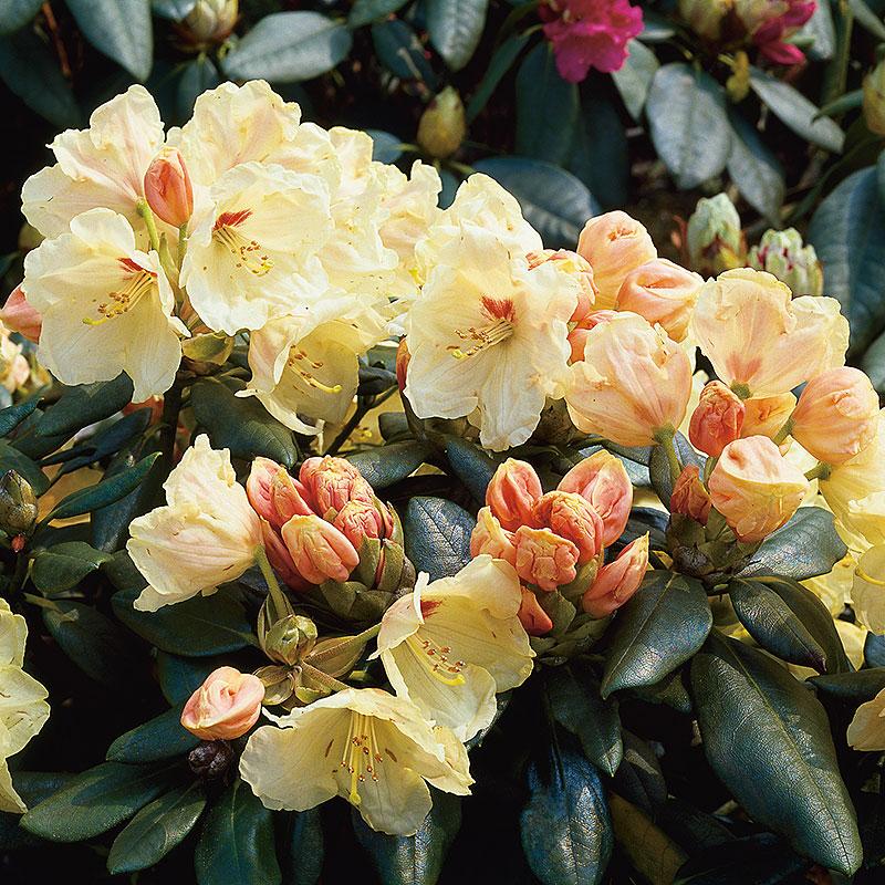 Rhododendron 'Flava'
