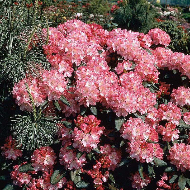 Rhododendron 'Morgonrot'