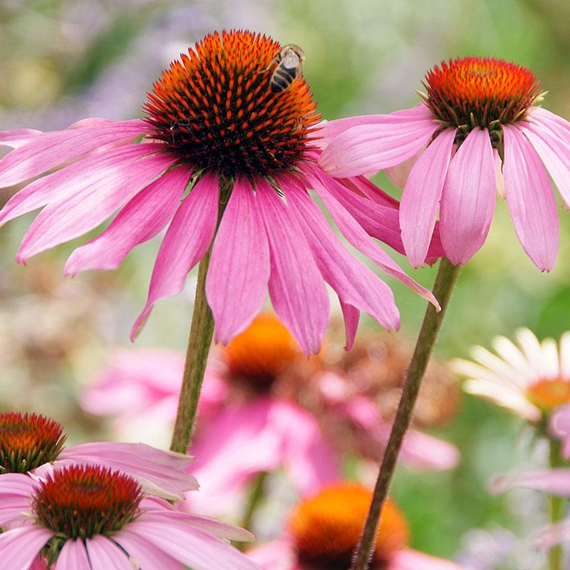 Röd solhatt, Echinacea purpurea `Magnus´