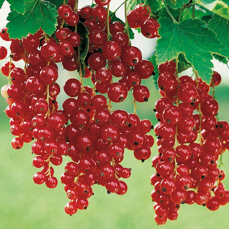 Röda vinbär 'Röda Holländska' Ribes rubra