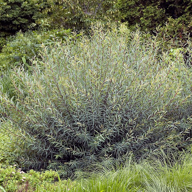 Rödvide,  Salix purpurea