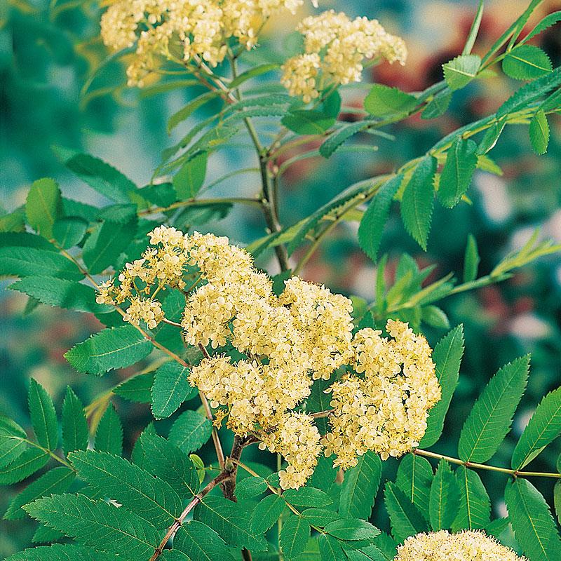 Häckväxt Rönn, Sorbus aucuparia