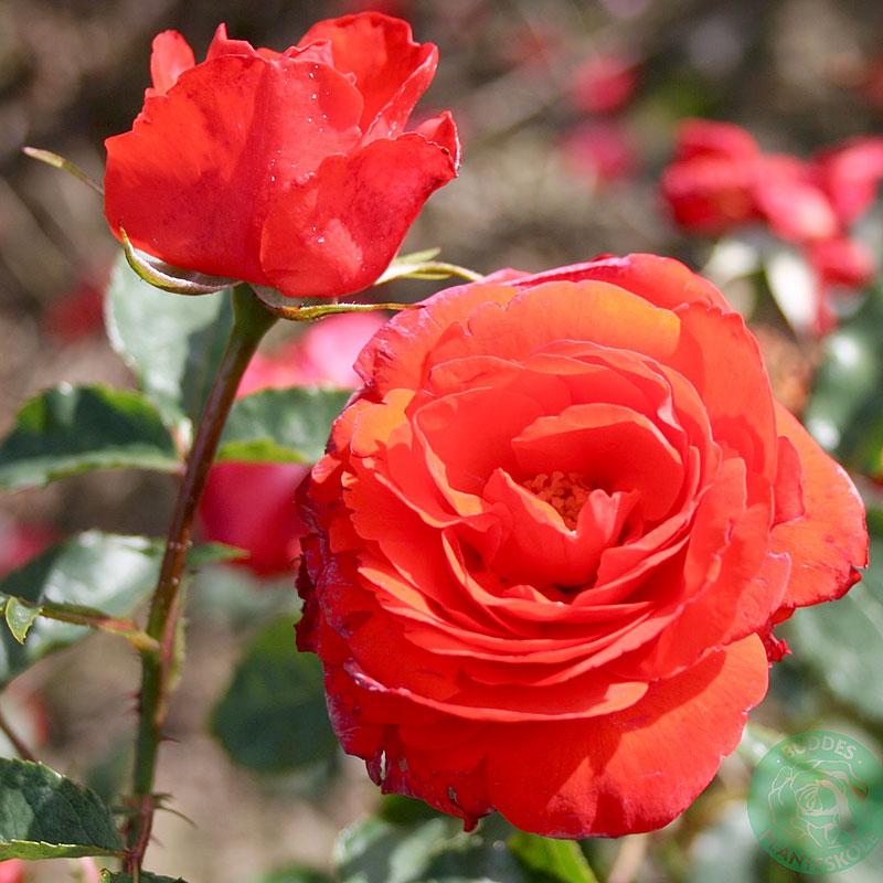 Rosa 'Brillant'