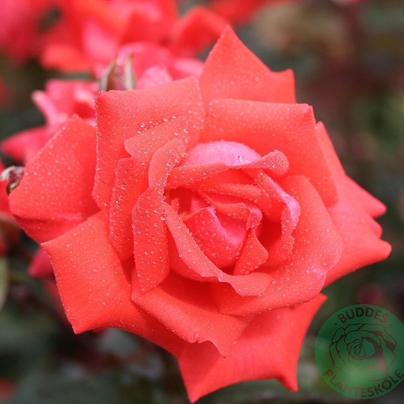 Rosa 'Piccolo'
