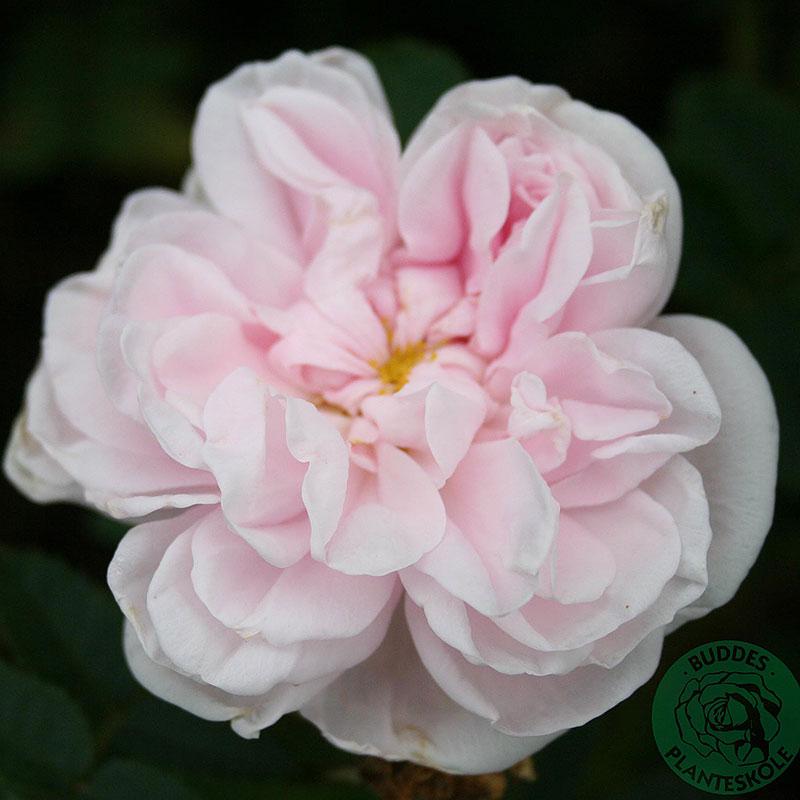Rosa 'Stanwell Perpetual'