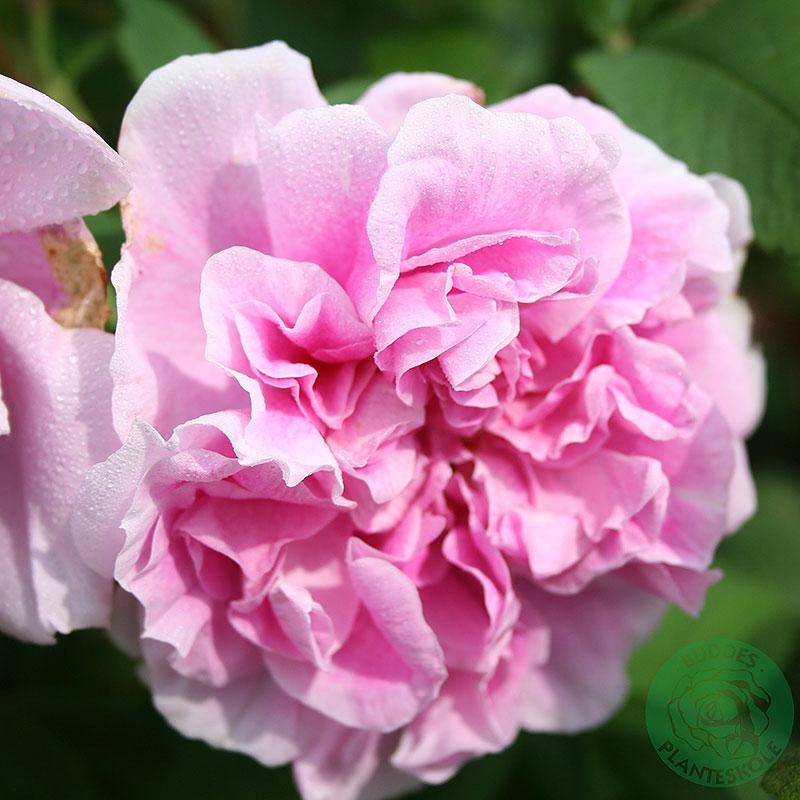 Rosa 'Theresa Bugnet'