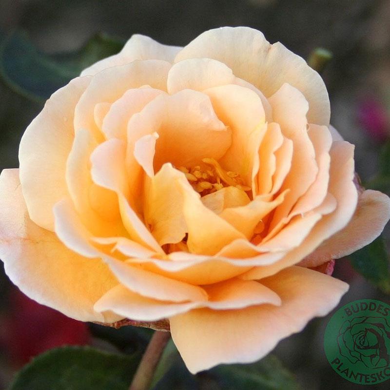 Rosa 'Whisky Mac'