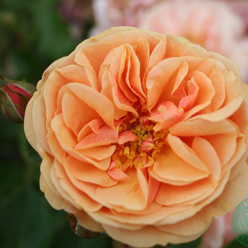 Rosa 'Zumba'