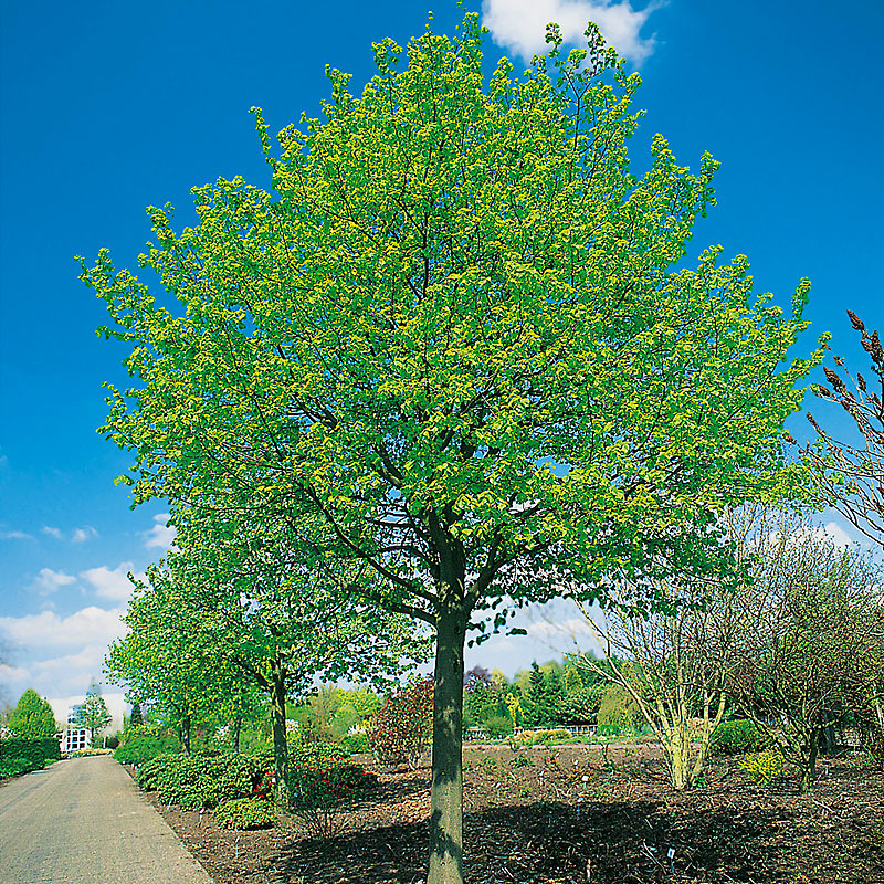 Skogslind, Tiliata cordata 'Greenspire'