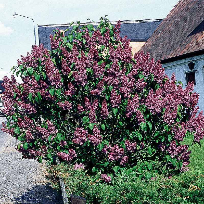 Syren, Syringa vulgaris 'Andenken an Ludwig Späth'