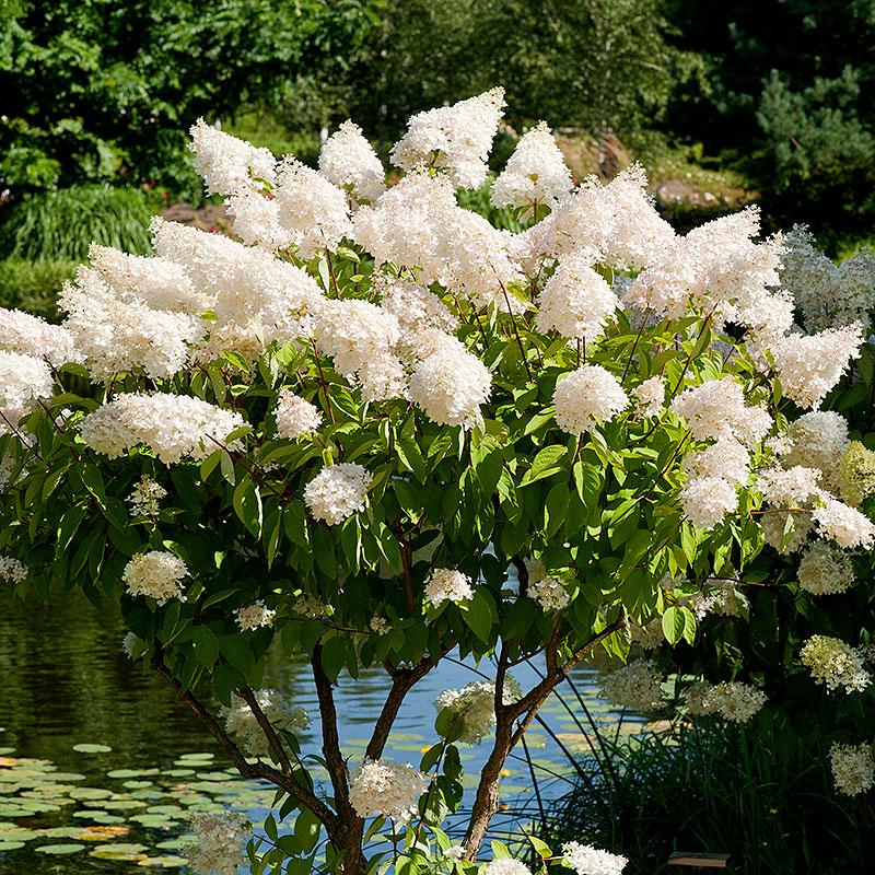 Syrenhortensia, Hydrangea paniculata 'Grandiflora'