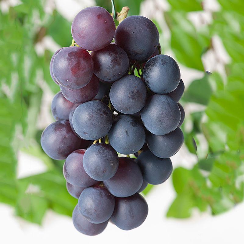 Vindruva 'Blå Burgunder' Vitis vinifera