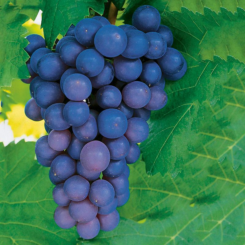 Vindruva 'Frankenthaler' Vitis vinifera