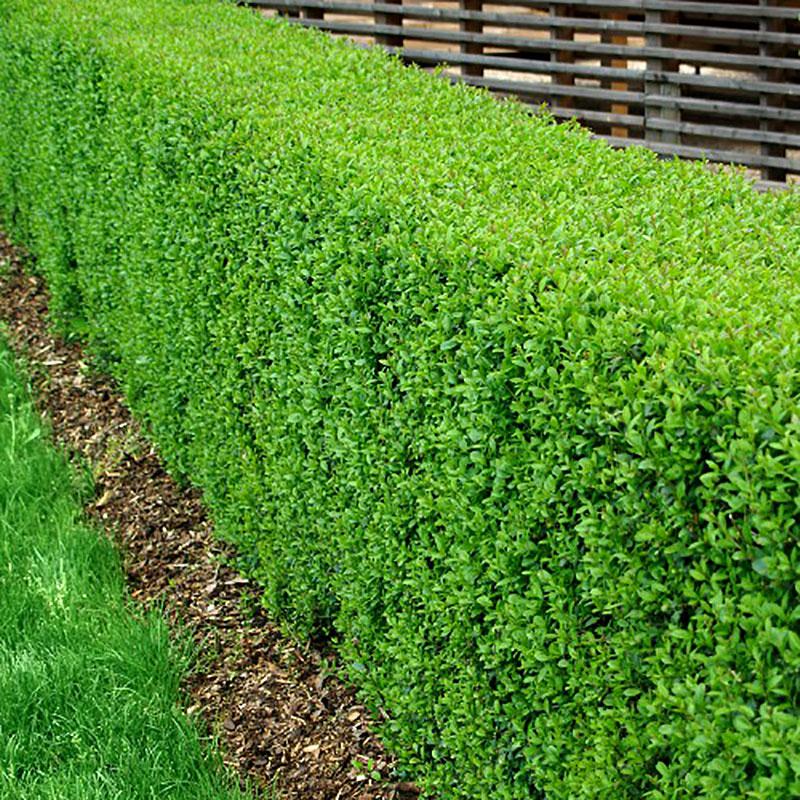 Vintergrön Liguster, Ligustrum vulgare atrovirens