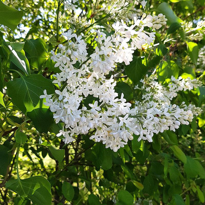 Syren med vit  blomma