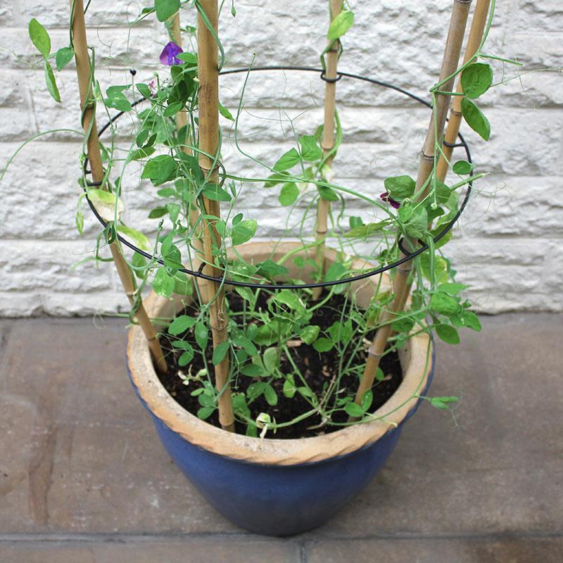 Växtstöd, Cane Rings-CaneRing växtstödshållare