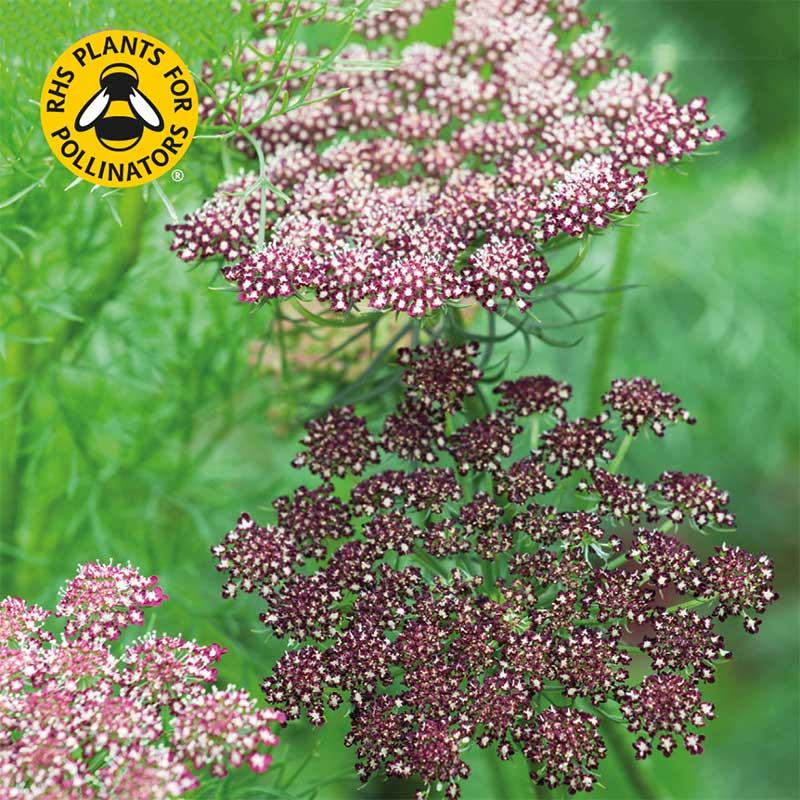 Blomstermorot 'Purple Kisses Mix'