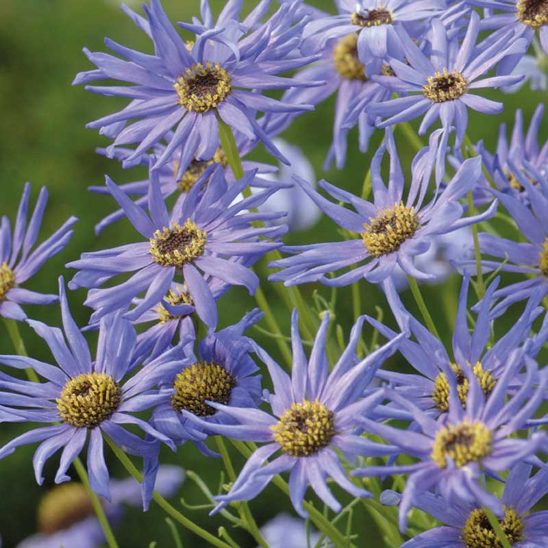 Dockkrage 'Blue Star'