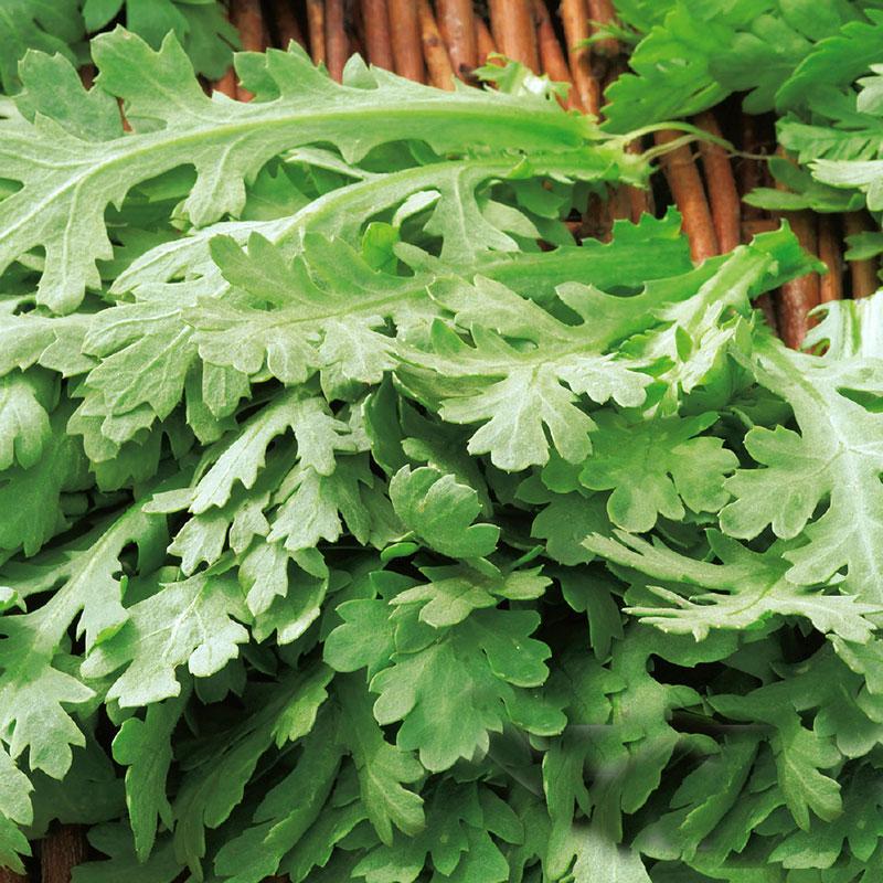 CHOPSUEY GREENS Shungiku-Frö till Chopsuey Greens Shungiku