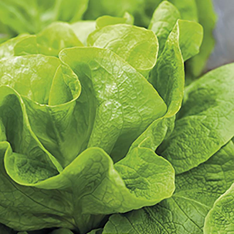 Frö till Huvudsallat 'Gustav's Salad', Lactuca sativa
