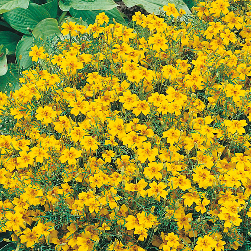 Kryddtagetes 'Golden Gem'
