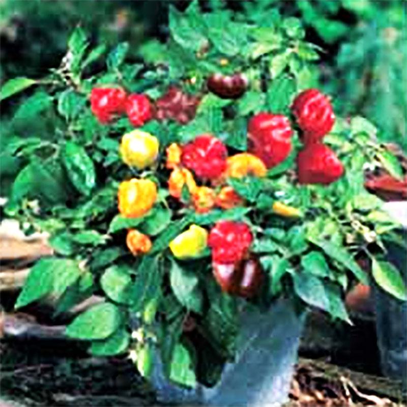 Paprika PEPPER (Sweet)  Minimix#-Frö till Paprika, Minimix