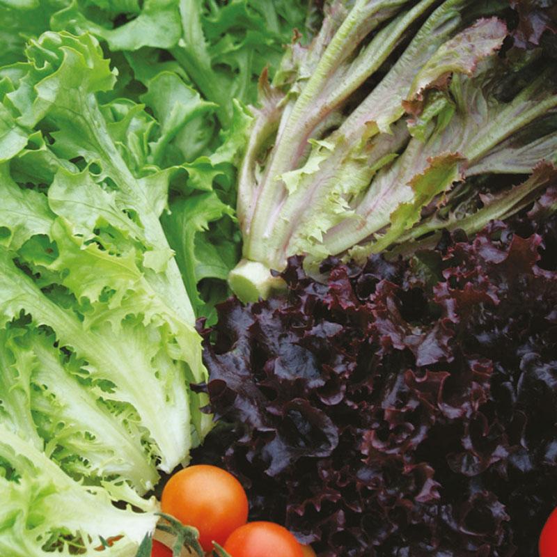 Frö till Plocksallat 'Multired' och 'Multigreen' mix, Lactuca sativa