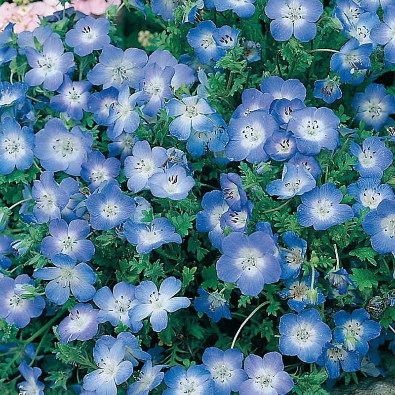 Frö till Prins Gustafs öga 'Baby Blue Eyes', Nemophila menziesii