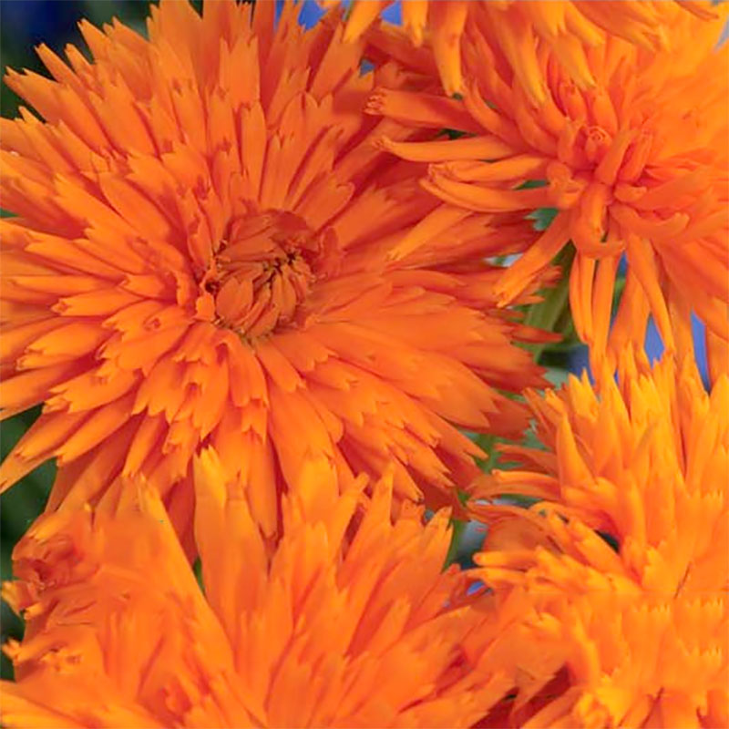 Frö till Ringblomma 'Orange Porcupine', Calendula offocinalis