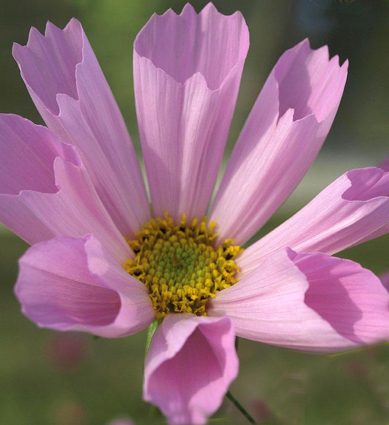 Rosenskära COSMOS Hummingbird Pink-Frö till Rosenskära COSMOS Hummingbird Pink
