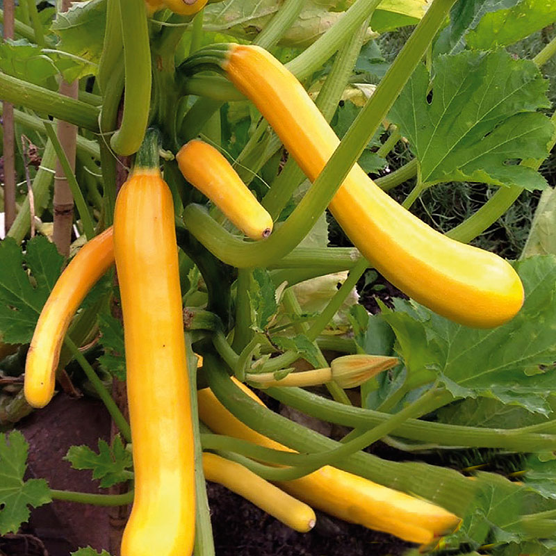 Squash COURGETTE Shooting Star F1-Frö till Squash COURGETTE Shooting Star F1