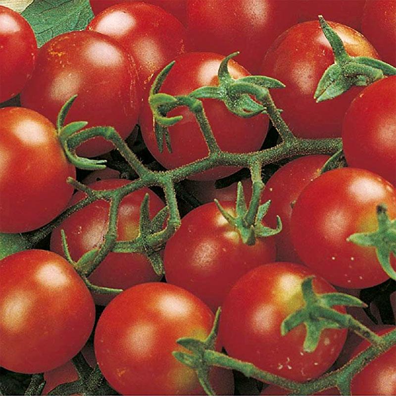 Tomat 'Gardener's Delight', ekologisk