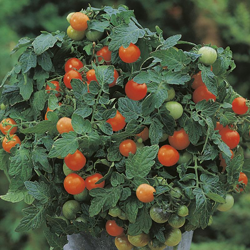Frö till busktomat 'Garden Pearl'