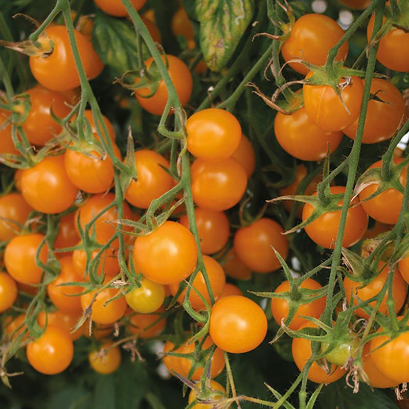 Frö till gul körsbärstomat Sunlemon