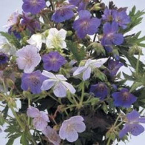 Näva - Geranium pratense 'mix'-