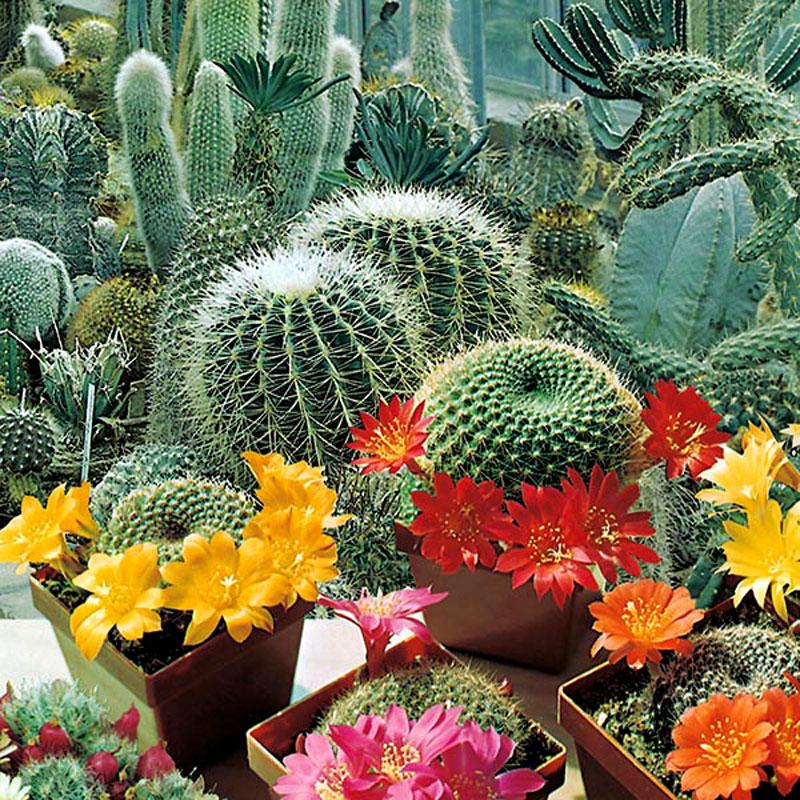 Frö till Kaktus, Flowers of the Desert, blandade sorter