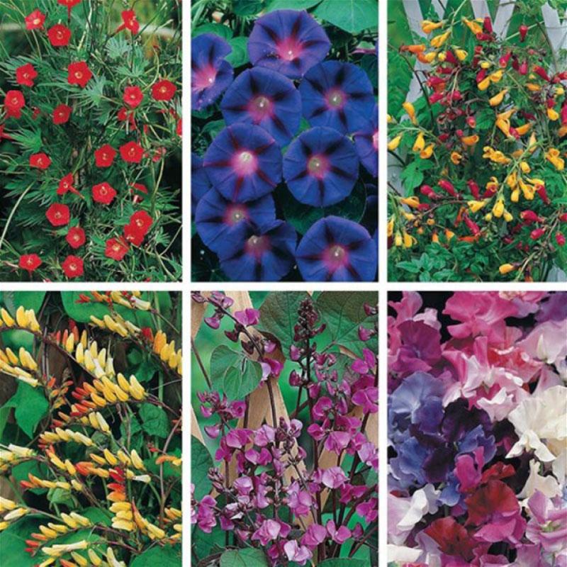 Frökollektion med noga utvalda klätterväxter i fin färgkombination