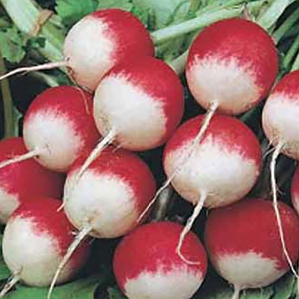 Ekologiskt frö till Rädisa Org Radish Sparkler 3