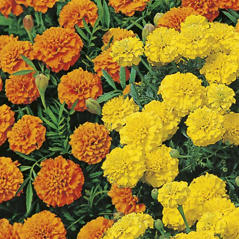 Sammetstagetes 'Orange & Lemons'