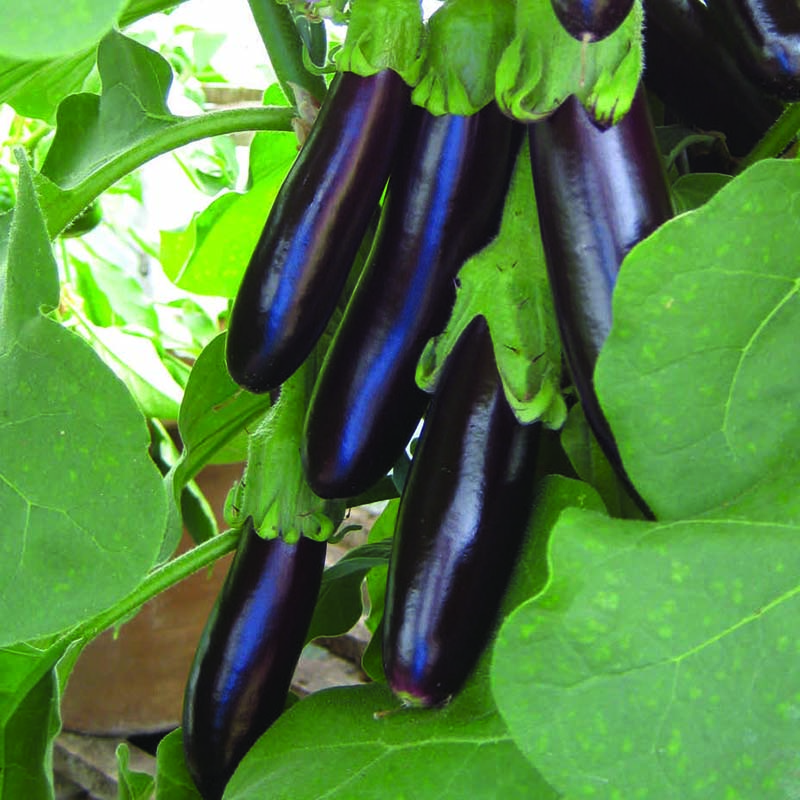 Aubergine, Long Purple-Fröer till äggplanta Aubergine, Long Purple