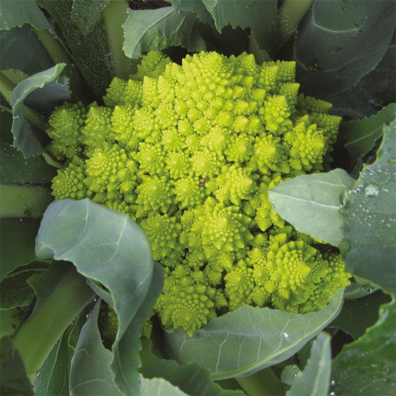 Ekologiskt frö till Blomkål Romanesco Veronica