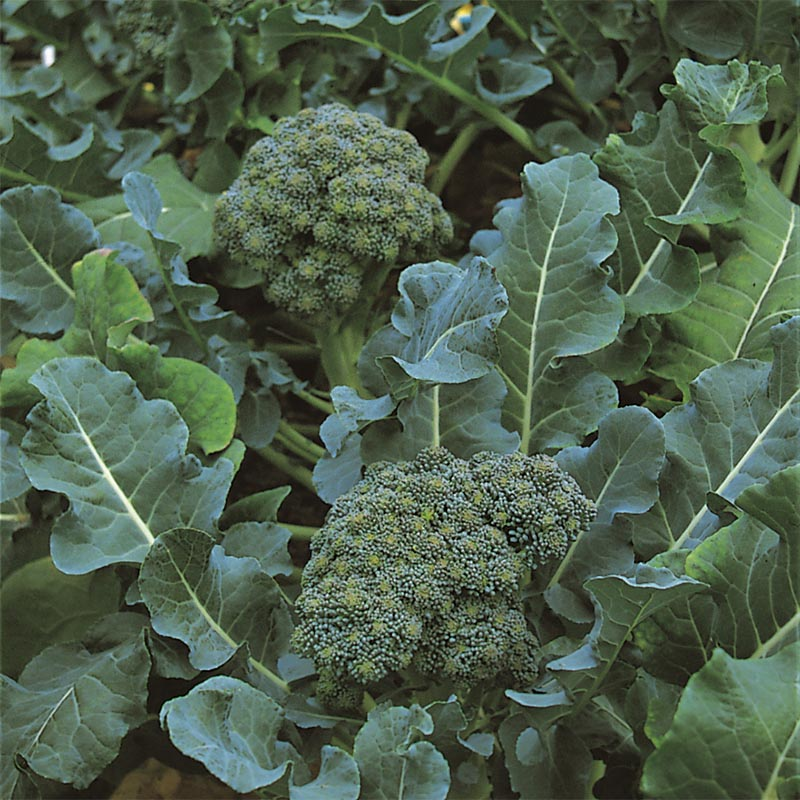 Broccoli Green Sprouting, organic-Ekologiskt frö till Broccoli Green Sprouting